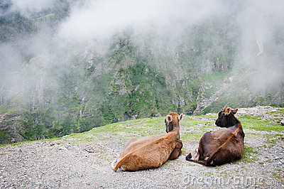 Two cows admire the scenery of foggy mountains