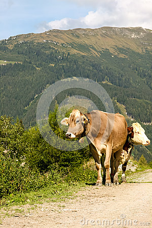 Two cows in the alps