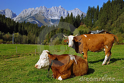 Two cows on Austrian alps