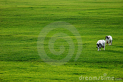 Two Cows in Green Pasture