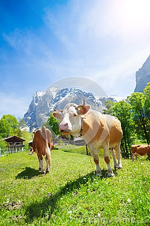 Free Two Cows In The Pasture Royalty Free Stock Photos - 32761818