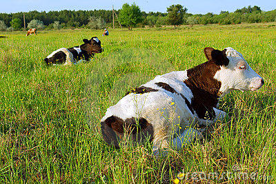 Two cows lie on spring field