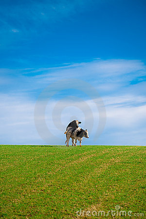 Two cows mating