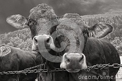 Two cows portrait in black and white