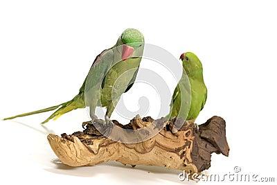 Two coy birds