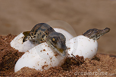 Two crocs hatching from eggs