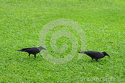 Two crows.