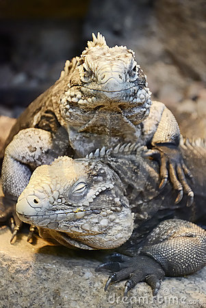 Two Cuban Iguanas - portrait