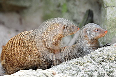 Two curious mongooses