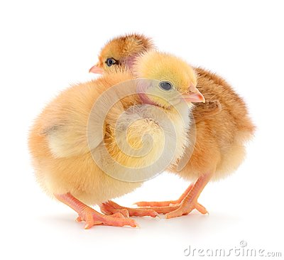 Free Two Cute Chicks  On White Royalty Free Stock Photography - 111348747