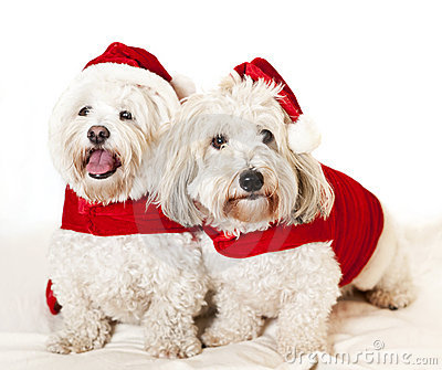 Two cute dogs in santa outfits