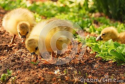 Two cute goslings