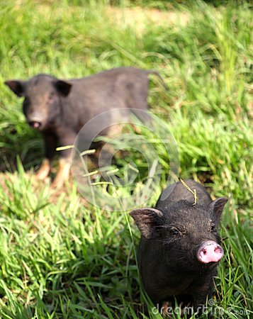 Free Two Cute Little Baby Piglets Coming Over To Say Hello Royalty Free Stock Photo - 54783255