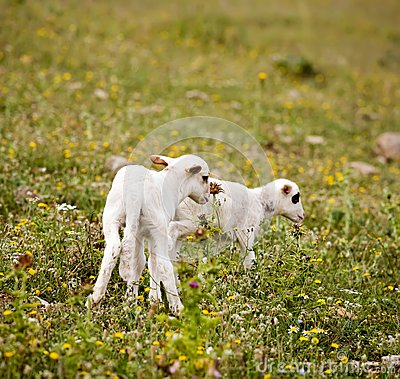 Two cute little lambs on meadow