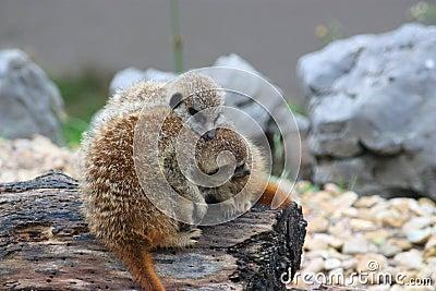 Two cute Meerkats