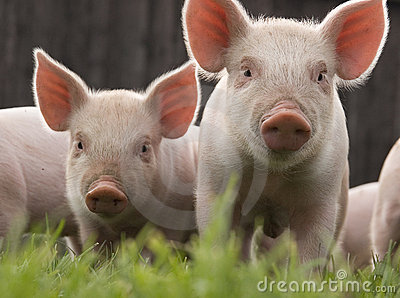 Two Cute Piglets