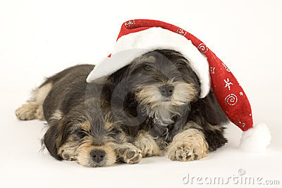 Two cute puppies brothers and santa hat