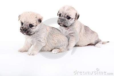 Two cute puppies isolated on white
