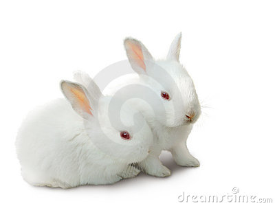 Two cute white baby rabbits isolated.