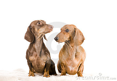 Two dachshund isolated