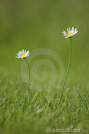 Free Two Daises Reaching For The Sun Royalty Free Stock Photo - 15104005