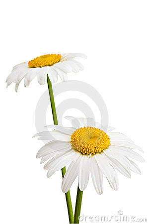 Two daisies.