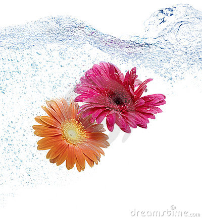 Two daisies diving in blue water