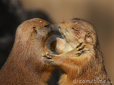 Two dancing prairie dogs