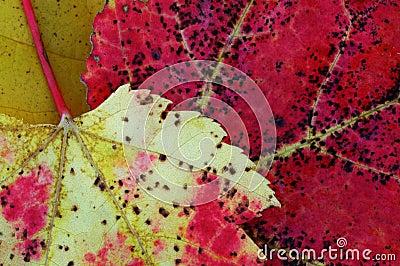 Two dead leafs