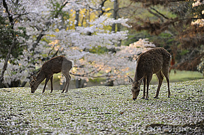 Two deer grazing amongst fallen cherry blossoms