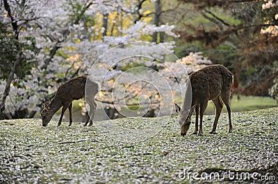 Two deer grazing amongst fallen cherry blossoms