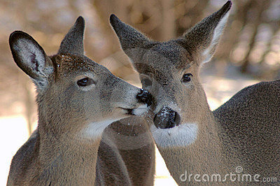 Two deer kissing