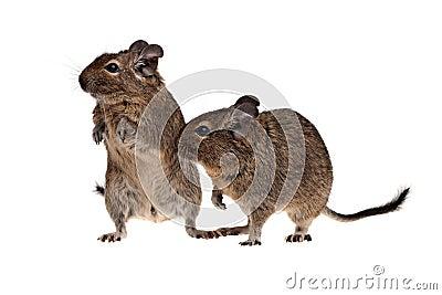 Two degu pets