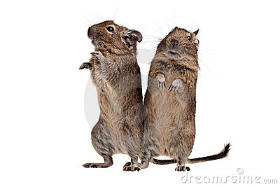 Two degu standing full-length