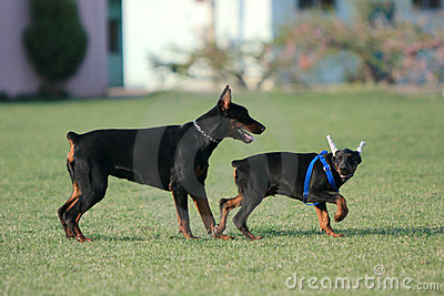 Two the doberman pinscher