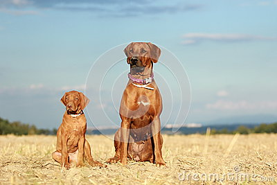 Two dogs adult and puppy