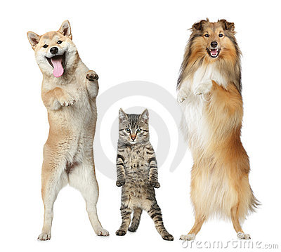 Free Two Dogs And Cat Stand On Hind Legs Stock Photography - 19677202
