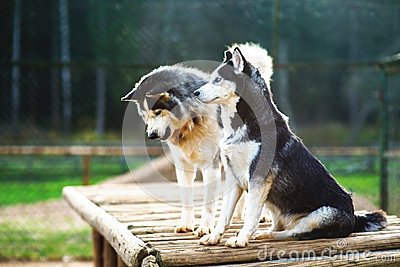 Two dogs of breed Husky