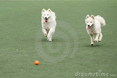 Two dogs chasing ball
