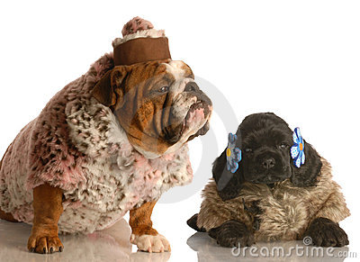 Two dogs dressed in fur coats