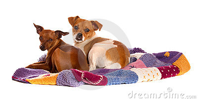 Two dogs on knitted blanket