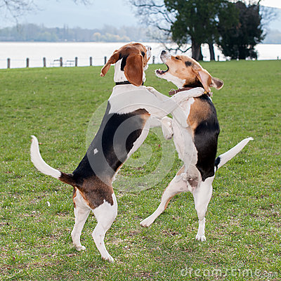 Free Two Dogs Playing Stock Images - 36403234