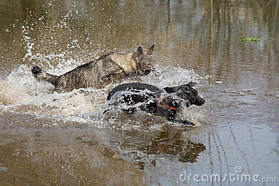 Two dogs playing tag