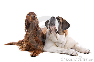 Two dogs on white