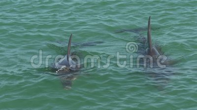 Two dolphins in Monkey Mia Shark Bay National Park stock footage