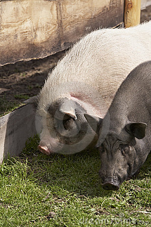 Two domesticated pigs