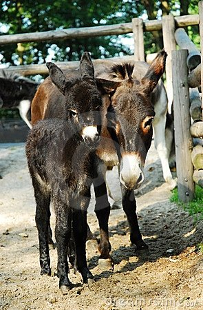 Two donkeys mother and baby