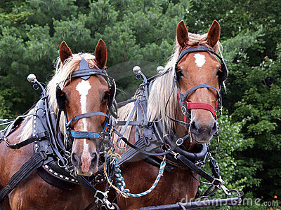 Two draft horses rigged up