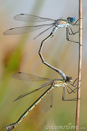 Two Dragonflies Stock Photos - Image: 11842673