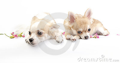 Two dreamy chihuahua dogs